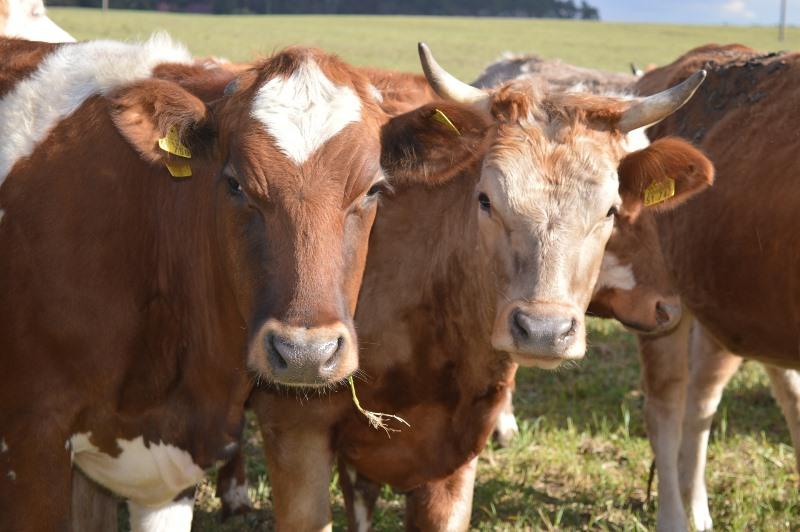 Основные мясные породы коров
