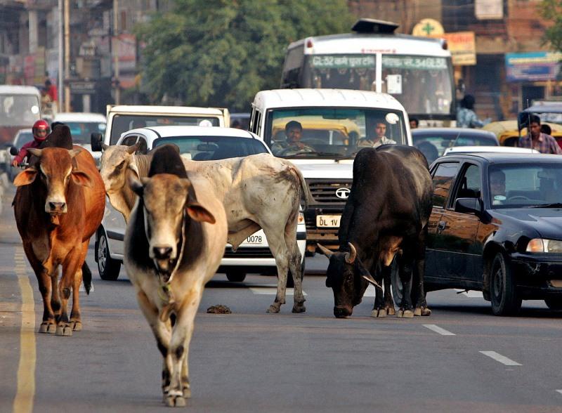 Корова - священное животное в Индии