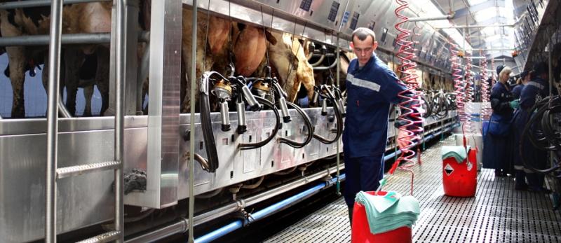 Сколько хорошая корова дает молока в сутки