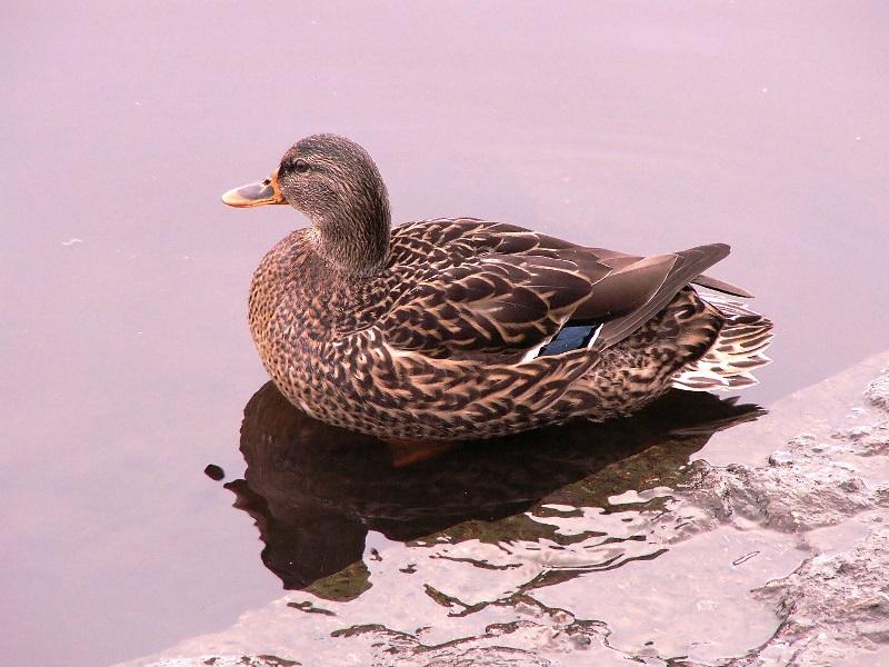Как выглядит серая утка: внешний вид, места обитания