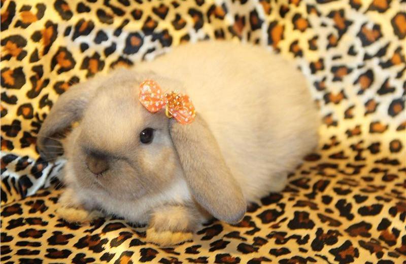 Популярные породы декоративных кроликов