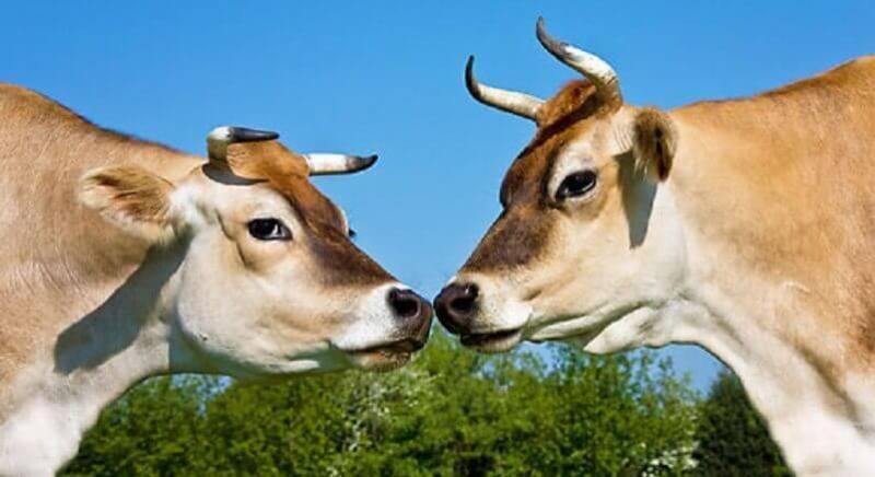 Что представляет джерсейская порода коров