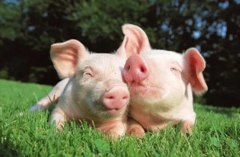 Член свиньи видио