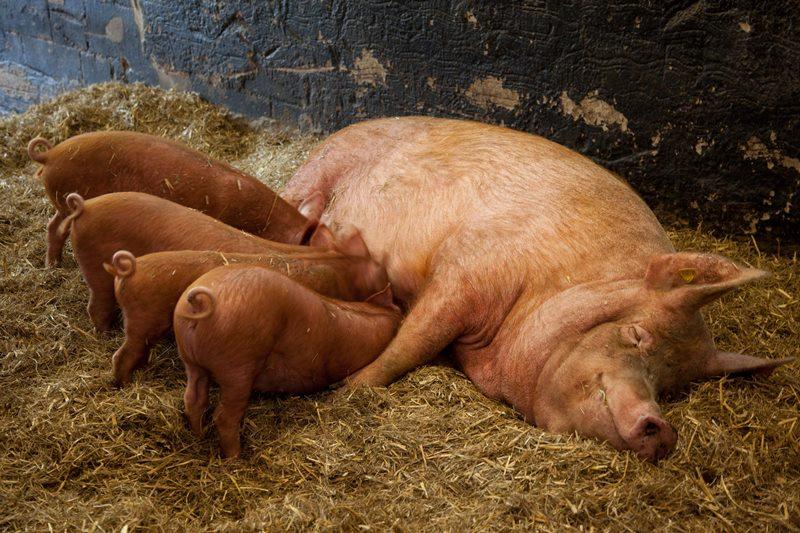 Свиньи дюрок: история появления породы, описание, содержание