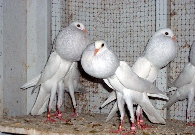 Голуби дутыши: породы и их отличия