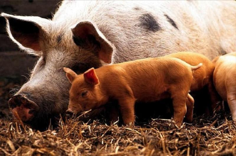 Что обычно едят свиньи