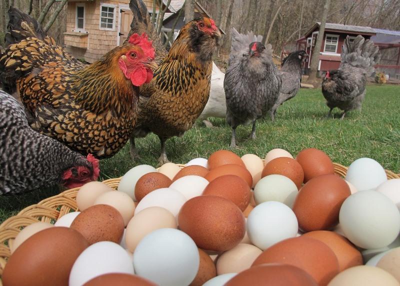 Как кормить кур, чтобы они несли много яиц