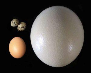 Отличительные признаки страусиного яйца