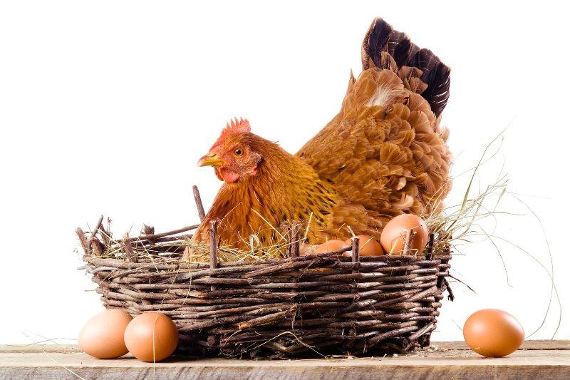 Если домашние куры клюют яйца: что делать и как отучить их от этого?