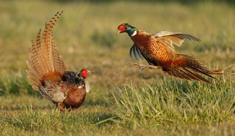 Кто такой обыкновенный фазан?