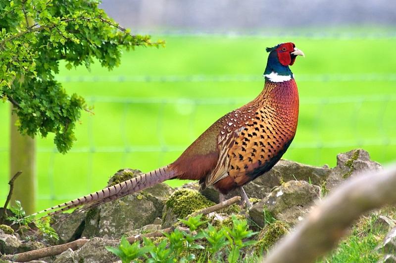 Как разводить охотничьих фазанов