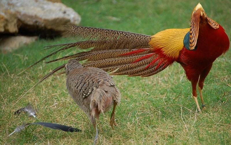 Золотой фазан: внешний вид, среда обитания, образ жизни