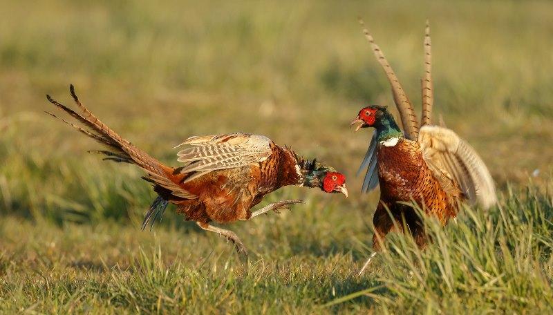 Характеристика обыкновенного фазана