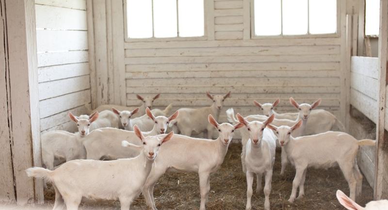 Как организовать козью ферму