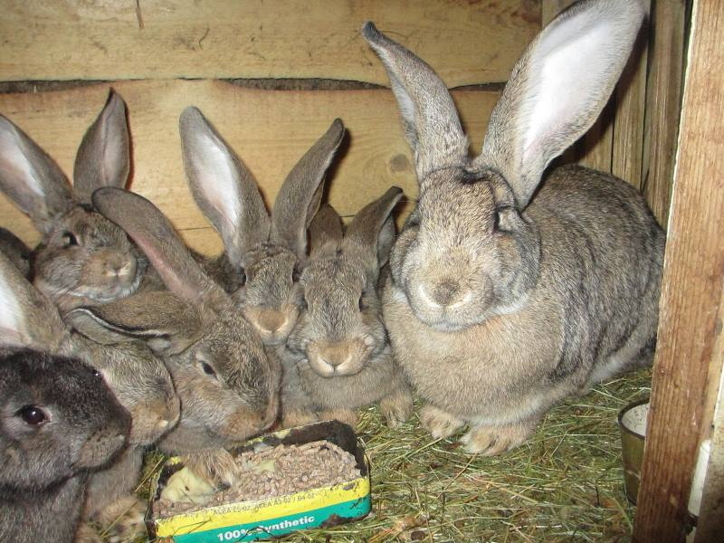 Бельгийские великаны: кролики породы фландр