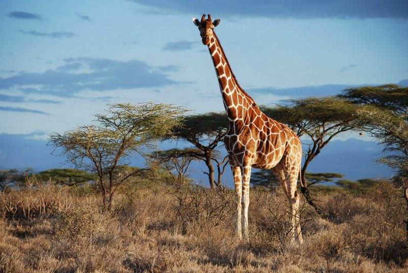 Самый высокий жираф и страус в мире