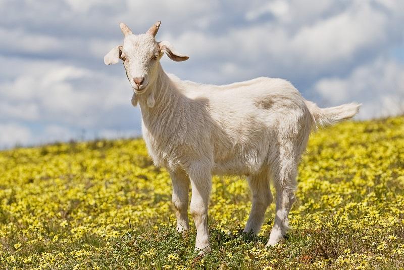 Сколько сосков должно быть у коровы и козы: особенности животных