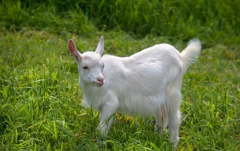 Русская белая коза