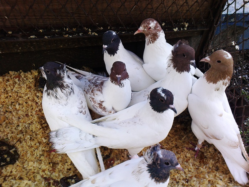 Особенности голубей бакинцев