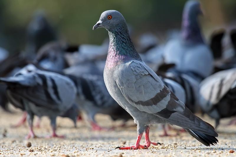 Где и сколько обычно живут голуби