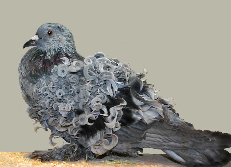 Популярные породы голубей