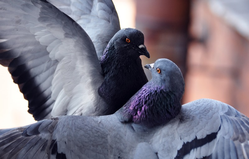 Где и сколько обычно живут голуби?