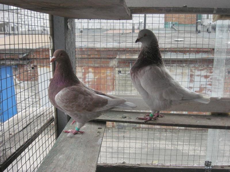 Как правильно заниматься разведением голубей