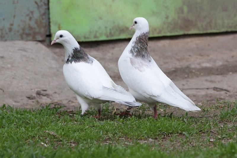 Бойные летные голуби