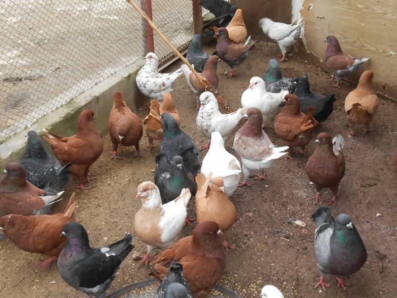 Разведение домашних голубей