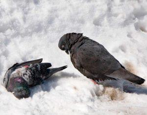 Болезнь Ньюкасла (вертячка) у голубей