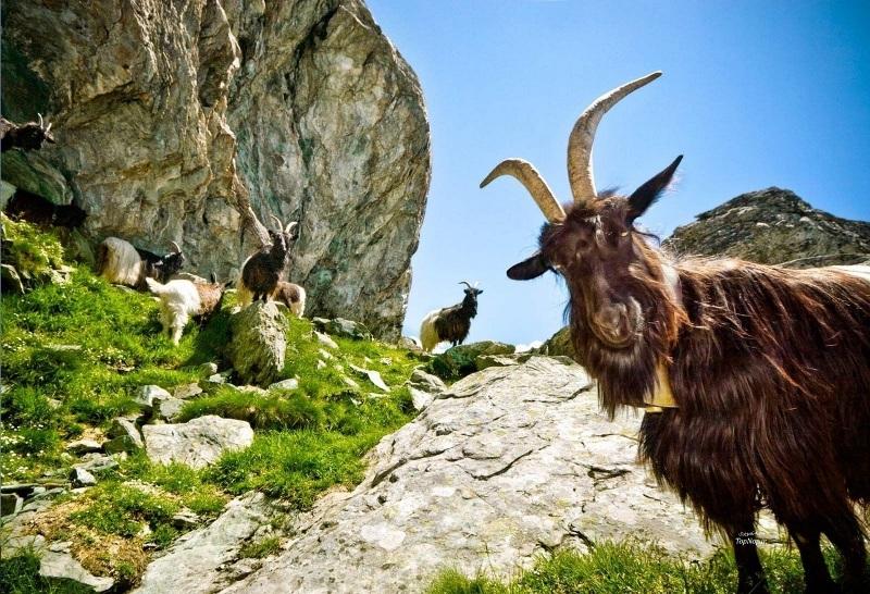 Отличительные черты горного козла