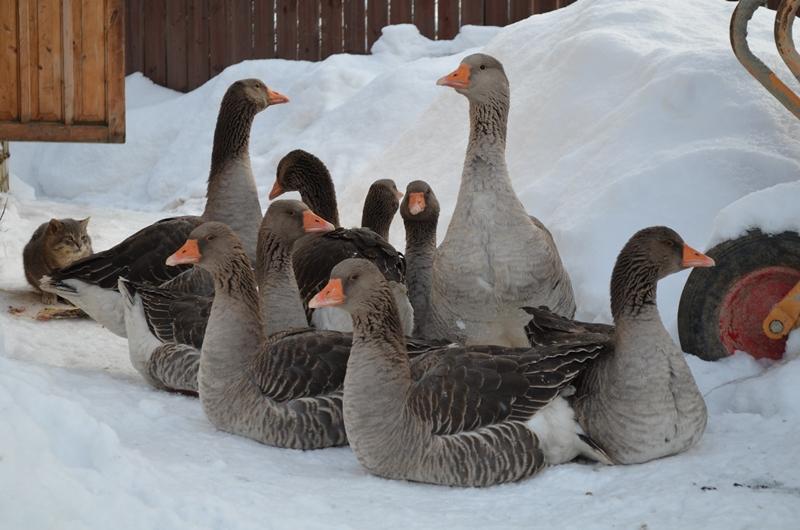 Чем можно кормить гусей зимой в домашних условиях