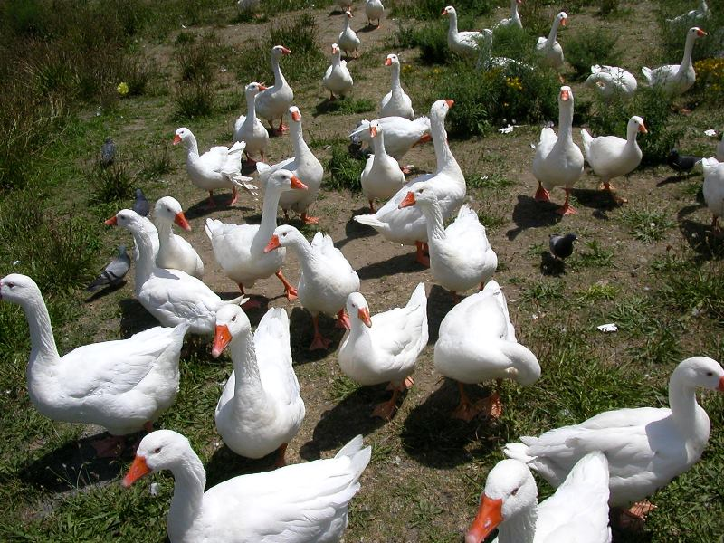 Особенности разведения гусей в домашних условиях для начинающих