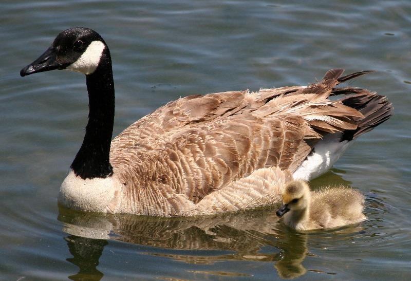Красивая птица канадский гусь