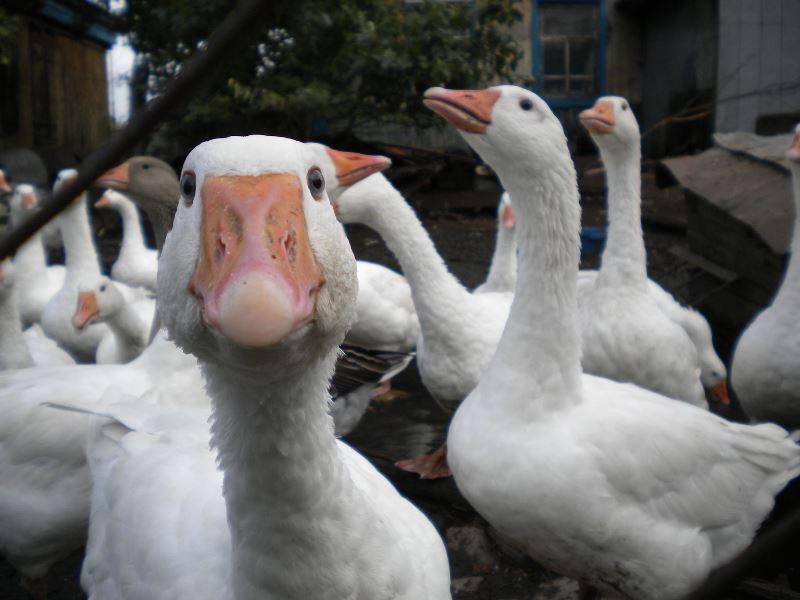 Разведение гусей как вид бизнеса на ферме