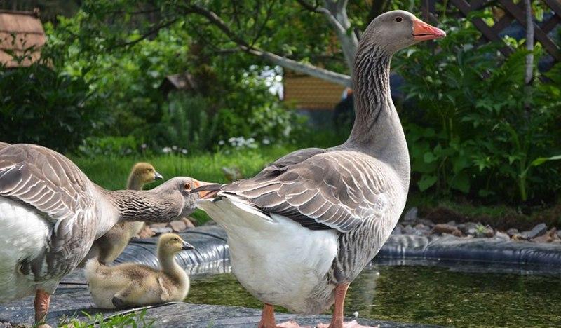 Породы гусей, их описание и поведение