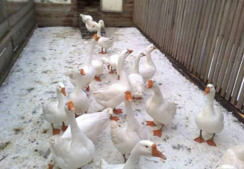 Разведение и содержание гусей зимой в домашних условиях