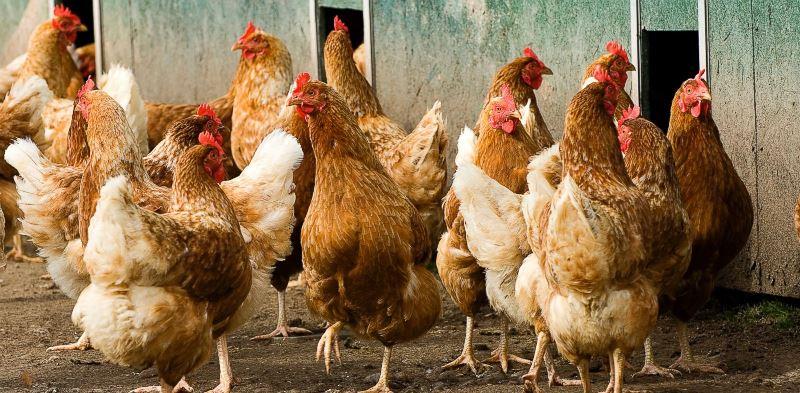 Сколько времени живет курица