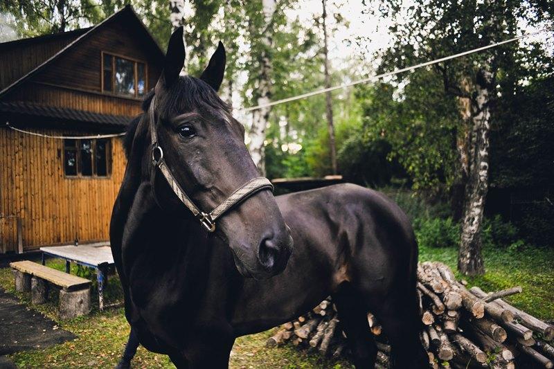 Выносливая и умная кабардинская порода лошадей