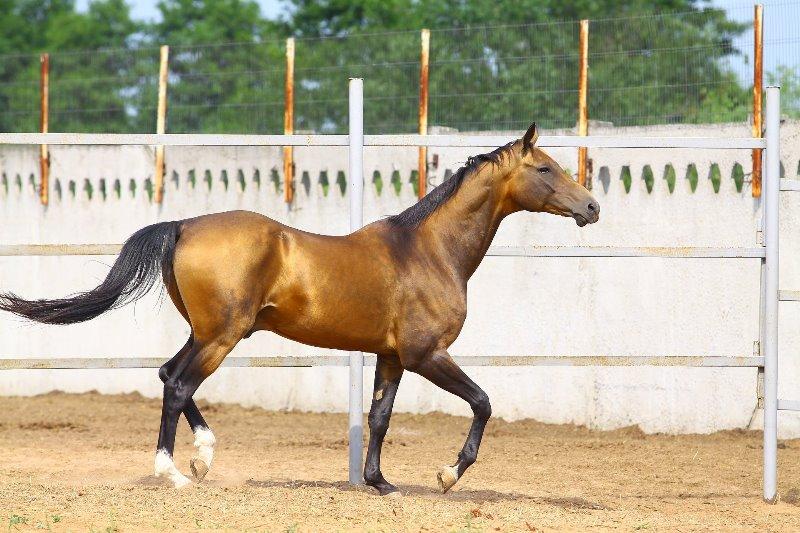 Характерные особенности каурой масти лошади