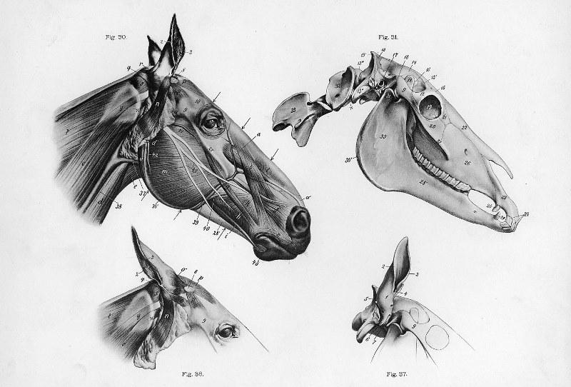 Общая анатомия лошади