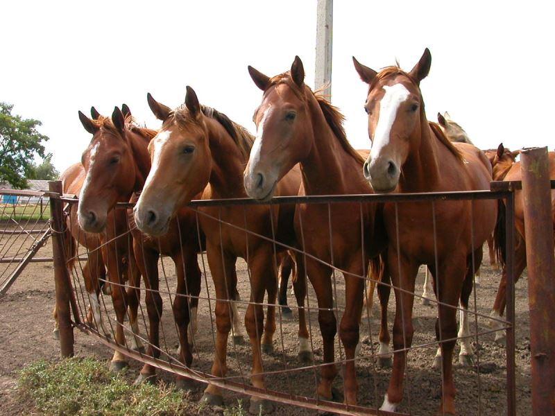 Характеристики буденновской лошади