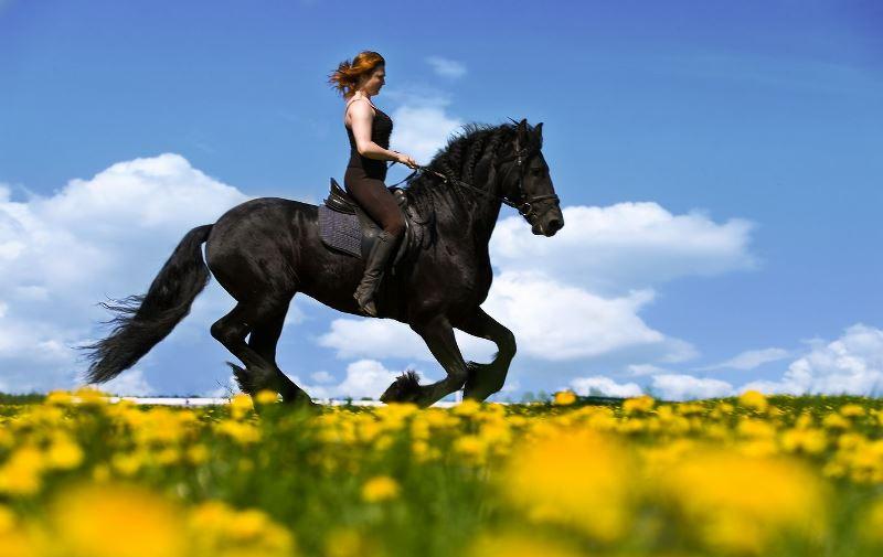 Жемчужина Голландии: фризская лошадь