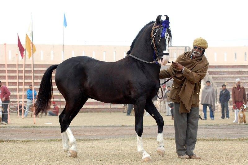 Особенности карачаевской породы лошадей