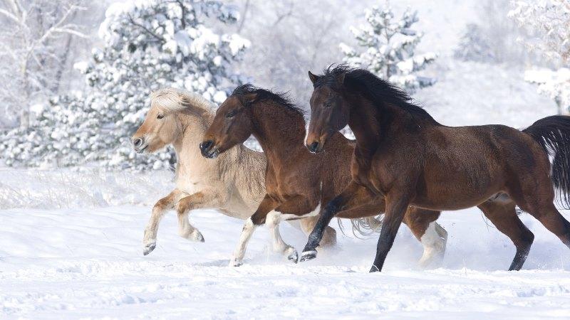 Сколько живут современные лошади?