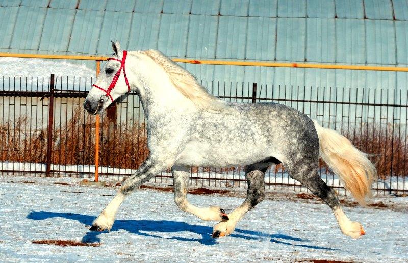 Порода лошади русский рысак