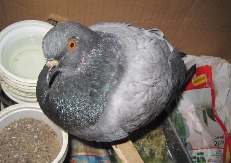 Основные болезни голубей и лечение птиц