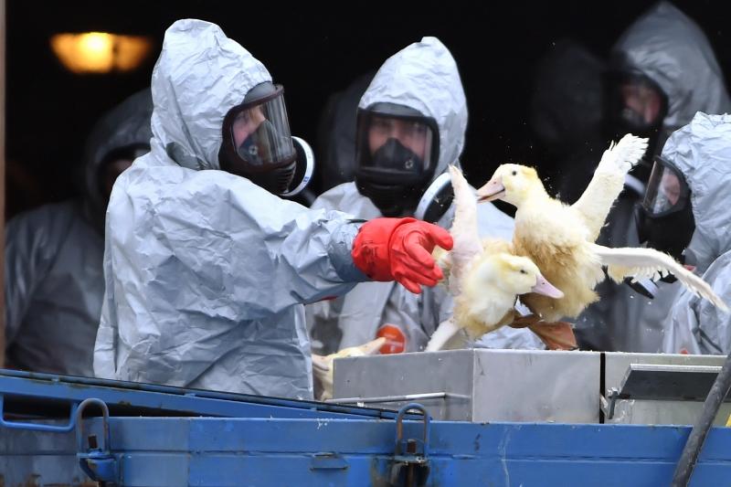 Чем опасен птичий грипп?