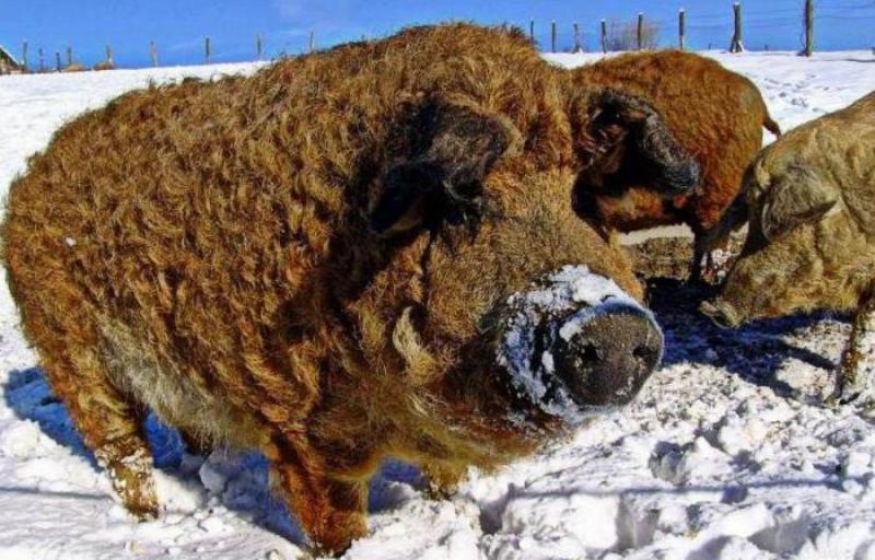 Чем известны порода свиней кармалы