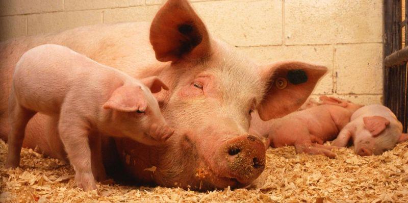 Питательный комбикорм для свиней